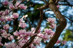 magnolia_1039